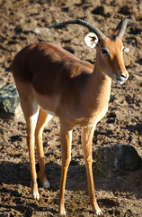 animal, antelope, mammal, fauna, impala, gazelle, wildlife,