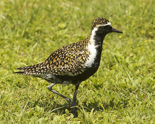 Pacific golden plover | Flickr - Photo Sharing!