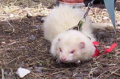 opossum(0.0), virginia opossum(0.0), polecat(0.0), animal(1.0), weasel(1.0), mustelidae(1.0), mammal(1.0), ferret(1.0),