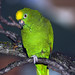 Yellow-crowned Parrot - Photo (c) Doug Greenberg, some rights reserved (CC BY-NC-ND)