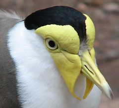 Masked Lapwing
