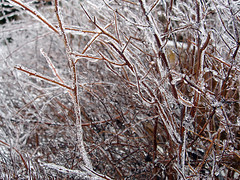 March 2, 2007 - 09:34 - Iced Branches