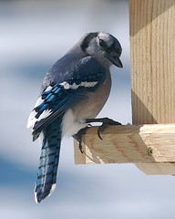 sparrow(0.0), branch(0.0), animal(1.0), wing(1.0), fauna(1.0), finch(1.0), blue(1.0), blue jay(1.0), beak(1.0), bird(1.0),