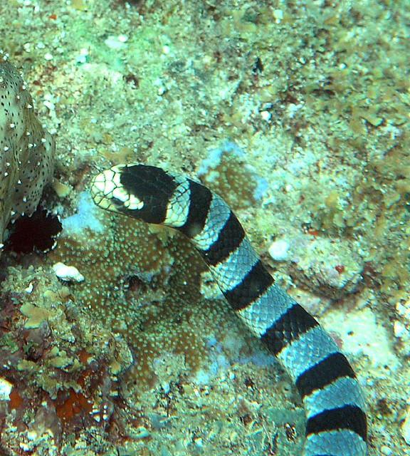 434414472 780068c3c1 z jpg zz 1Banded Sea Snake Bite