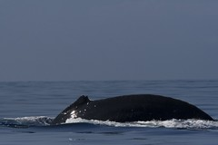 animal, marine mammal, sea, ocean, wave, whales, dolphins, and porpoises, humpback whale,