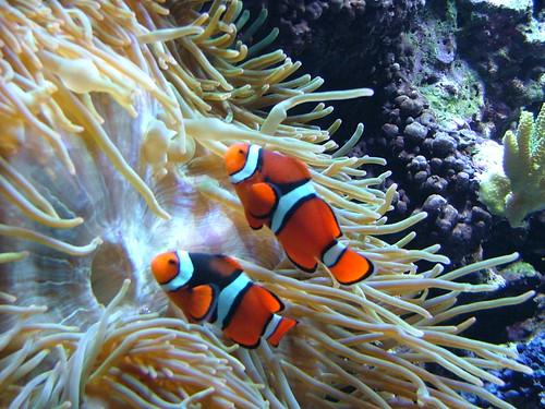 Fantastische beesten clownvis is transsexueel for Immagini pesce pagliaccio