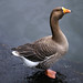 Greylag Goose - Photo (c) Max Westby, some rights reserved (CC BY-NC-SA)