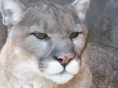 cougar, animal, small to medium-sized cats, snout, mammal, fauna, puma, wild cat, whiskers, wildlife,