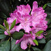 rododendron - Photo (c) Gertrud K., some rights reserved (CC BY-NC-SA)