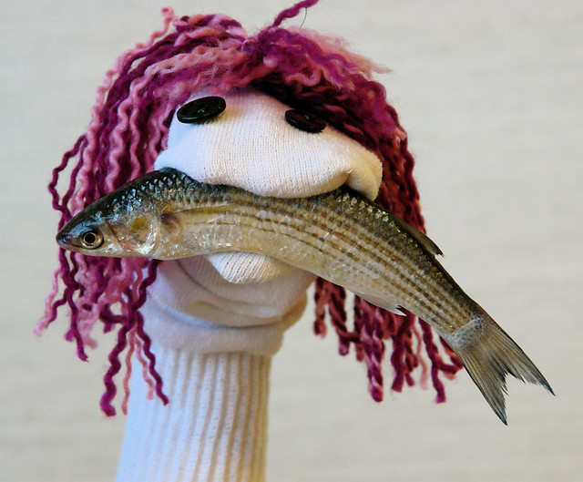 Sock puppet with raw Sardine