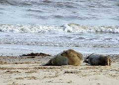 Seals @ Horsey, Norfolk