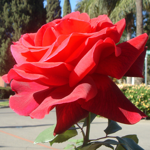 Most Beautiful Red Rose Ever 1 | Flickr - Photo Sharing! Most Beautiful Single Red Rose