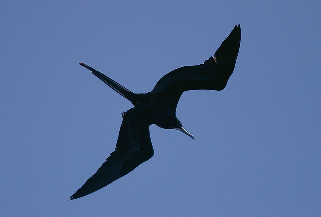 Frigatebird 2 | Flickr - Photo Sharing!: www.flickr.com/photos/max_westby/409115593