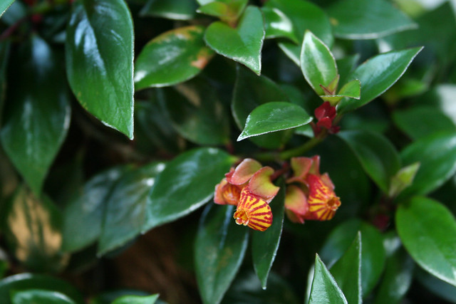 Nematanthus A Gallery On Flickr
