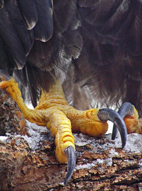 Comparação do tamanho de águias  com relação ao homem. 422752557_35b99808a7_z