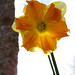 Orange and Yellow Narcissus