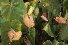 canna lily(0.0), aquatic plant(0.0), flower(1.0), leaf(1.0), arum(1.0), plant(1.0), flora(1.0),