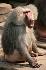drill(0.0), macaque(0.0), animal(1.0), baboon(1.0), monkey(1.0), mammal(1.0), fauna(1.0), close-up(1.0), old world monkey(1.0), wildlife(1.0),
