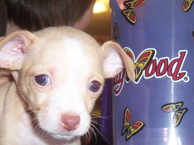 Chihuahua-Mix Polly | Flickr - Photo Sharing!