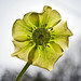 Early for Easter or Late for Christmas Rose? by algo