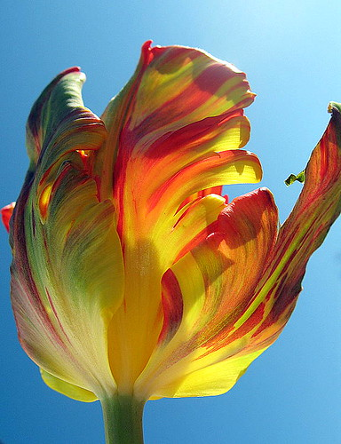 Flaming Parroté Tulip