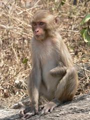 tufted capuchin(0.0), langur(0.0), japanese macaque(0.0), animal(1.0), baboon(1.0), monkey(1.0), mammal(1.0), fauna(1.0), old world monkey(1.0), new world monkey(1.0), macaque(1.0), wildlife(1.0),