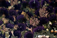 invertebrate(0.0), coral reef(1.0), animal(1.0), sea urchin(1.0), coral(1.0), flower(1.0), purple(1.0), marine biology(1.0), natural environment(1.0), reef(1.0), sea anemone(1.0),