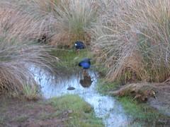 Pukeko - Abel Tasman National Park