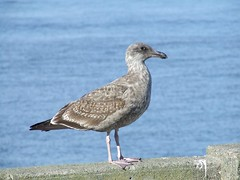 animal, charadriiformes, sea, fauna, great black-backed gull, european herring gull, shorebird, beak, bird, seabird, wildlife,