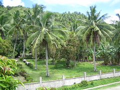 arecales, botanical garden, tropics, agriculture, palm family, tree, plant, food, elaeis, jungle, plantation,