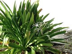 agave, flower, plant, produce,