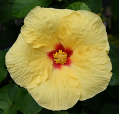 flower, yellow, plant, malvales, macro photography, flora, chinese hibiscus, petal,