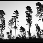 Pine Silhouette