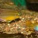 Pelvicachromis sp