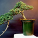 Juniperus Procumbens by martinerculiani