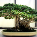 Ficus Bonsai, Washington, DC