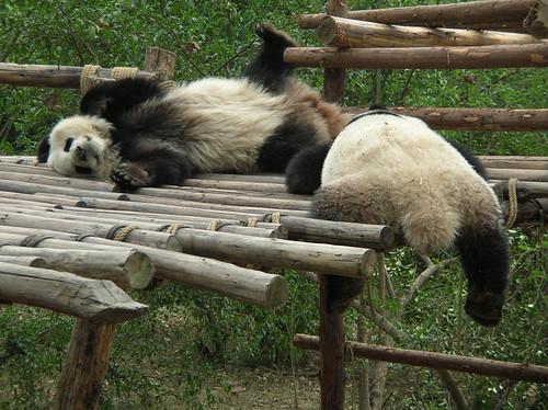 414262718 1dbb39694f Funny Panda Bears