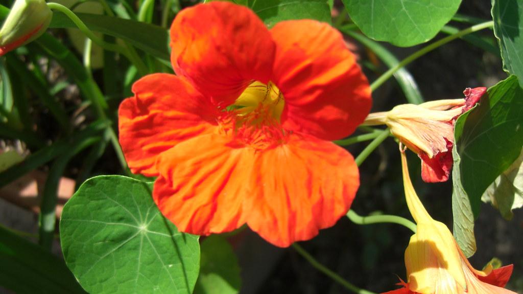 Dark Orange Nasturtium