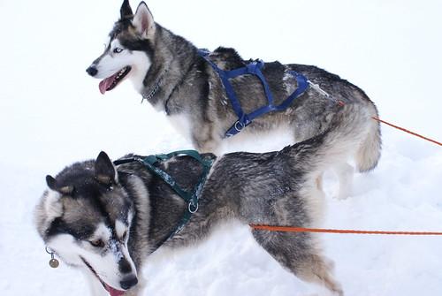 431778423 28ecbfaad8 Cool Siberian Husky images
