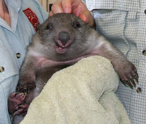 Wombat grinning | Part of Jody the baby wombat on Meghan ...
