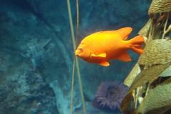 animal, fish, yellow, coral reef fish, marine biology, macro photography, goldfish, fauna, underwater, reef, pomacentridae, pomacanthidae,