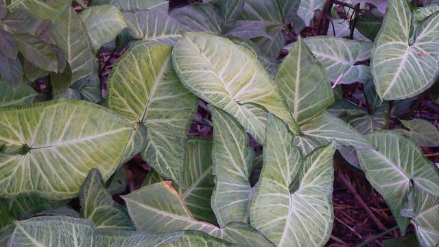 Syngonium podophyllum 'Imperial White' | Flickr - Photo ...