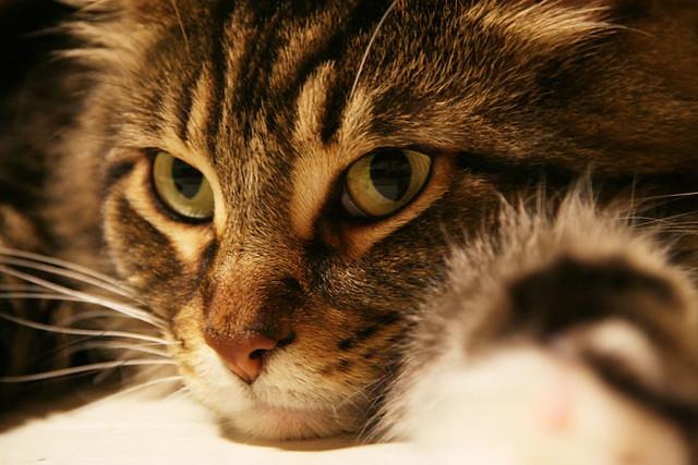 Maincoon Cat And Autistic Childsite Youtube Com