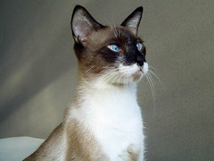 animal, siamese, small to medium-sized cats, pet, javanese, thai, tonkinese, cat, carnivoran, whiskers, balinese,