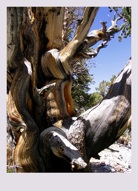 Bristlecone in Great Basin National Park, Nevada