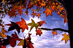 Red leaves with blue sky by Gitart