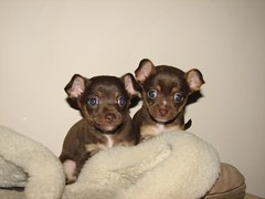 chihuahua(0.0), russkiy toy(0.0), dog breed(1.0), animal(1.0), puppy(1.0), praå¾skã½ krysaå™ãk(1.0), dog(1.0), pet(1.0), english toy terrier(1.0), carnivoran(1.0),