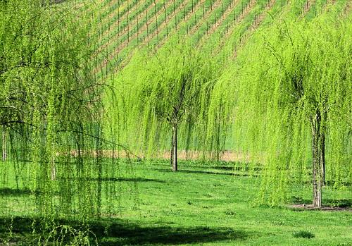 green vineyard weepingwillow hopland shininggreen