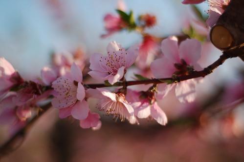 flower geotagged blossom southcarolina peach nikonstunninggallery geo:lat=34902421 geo:lon=82145655