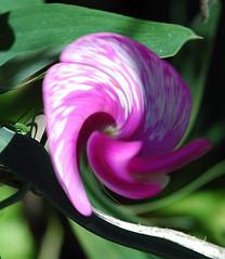 Wild Orchid, Tilden Park